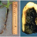 Болезнь картофеля чёрная ножка