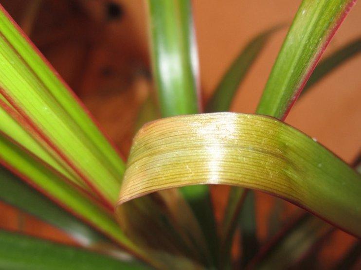 Загнивающий лист драцены