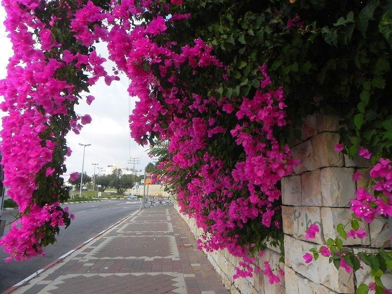 Бугенвиллия на улице