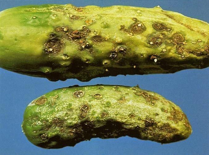 Бурая (оливковая) пятнистость