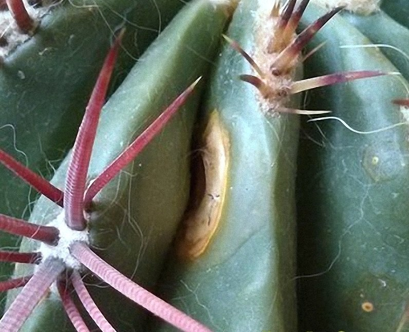 Пятна бурой пятнистости на кактусе
