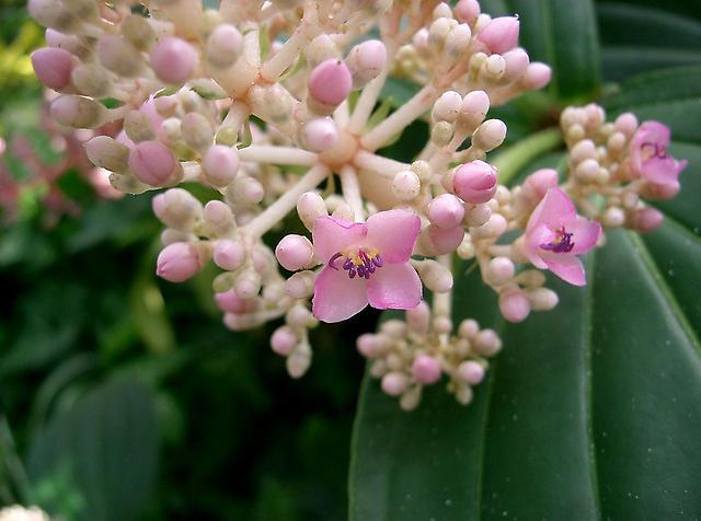 Цветы мединиллы