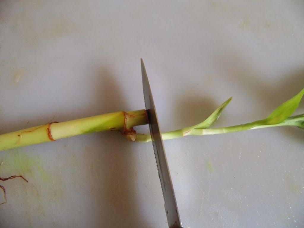 Бамбук размножение посадка и уход черенками