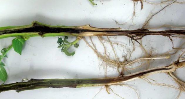 Чёрная ножка на стебле растения