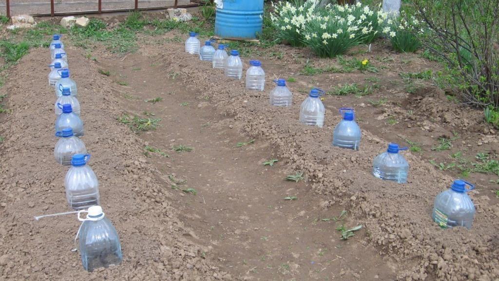 Цукини под пластиковыми бутылками
