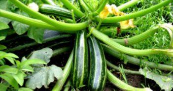 Цукини -разновидность кабачка, отличающаяся большей урожайностью