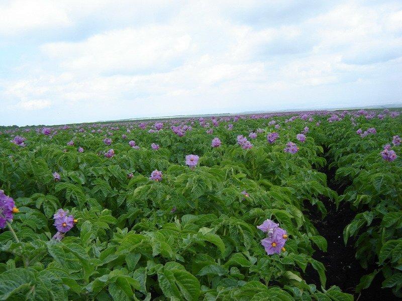 Цветение картофеля Синеглазка
