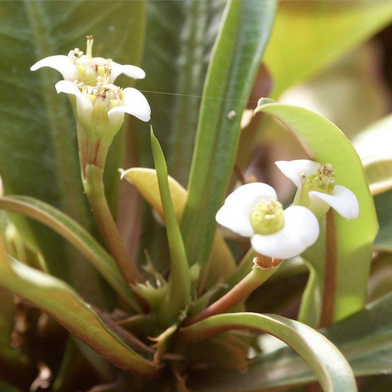 Цветки гребенчатого молочая