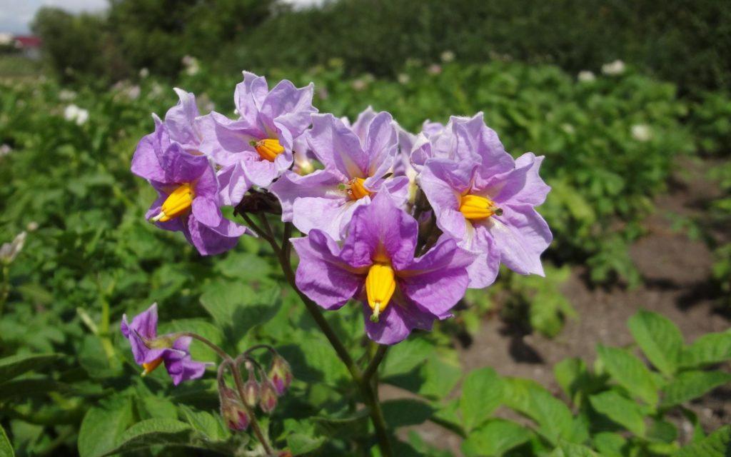 Цветки картофеля Коллете