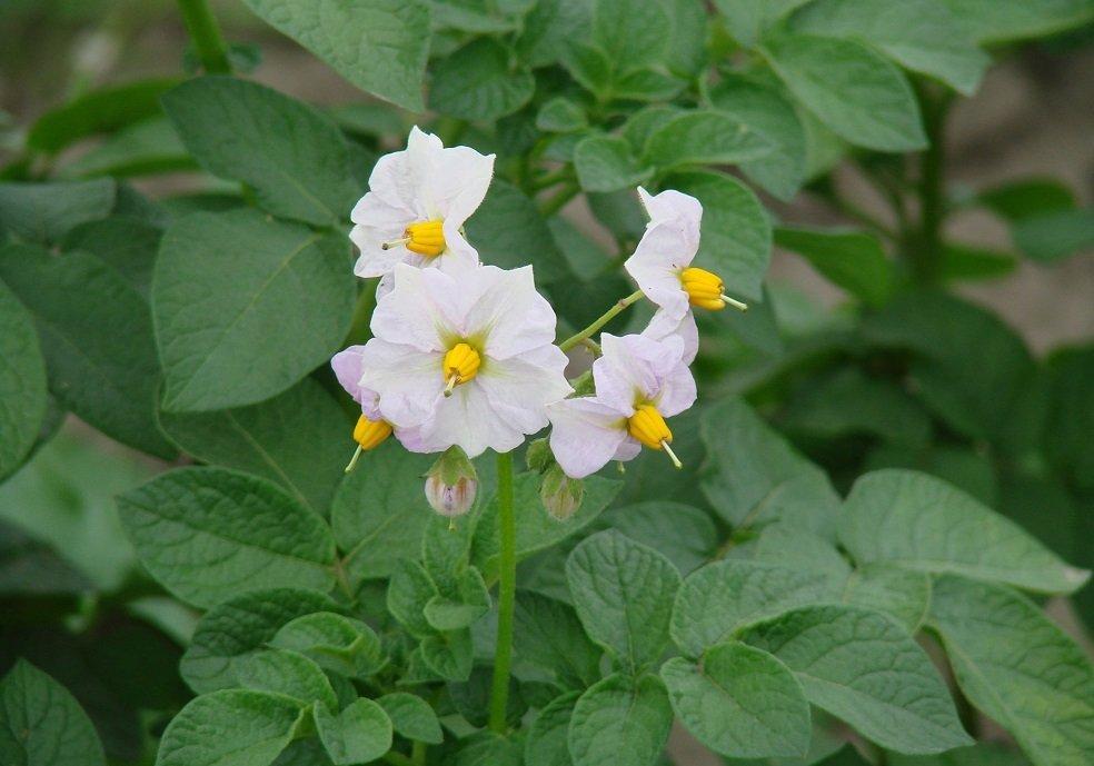 цветки картофеля