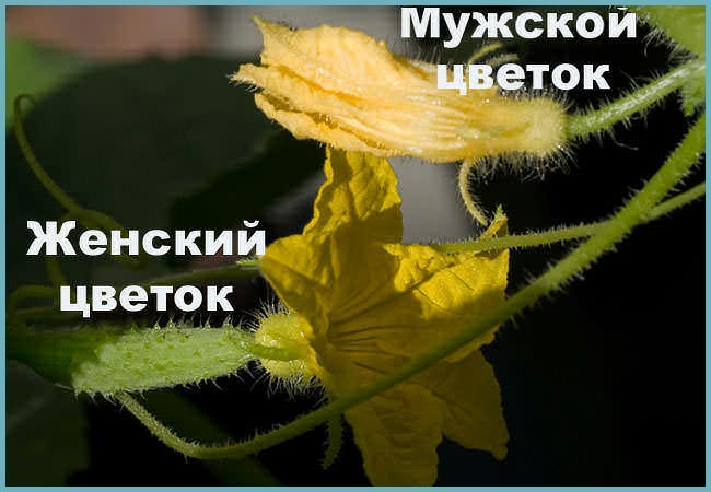 Женский цветок и мужской цветок