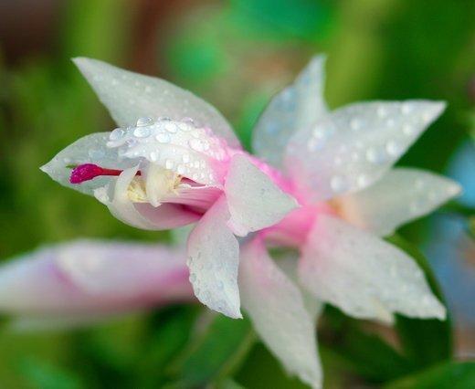 Цветок шлюмбергеры после опрыскивания