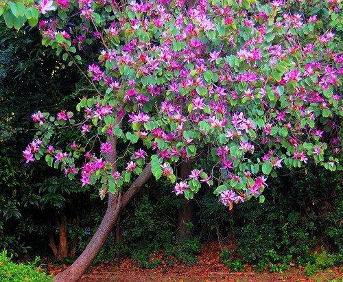 Цветущее дерево баухинии