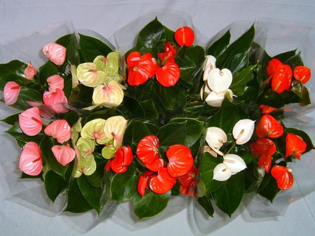 Цветущие антуриумы