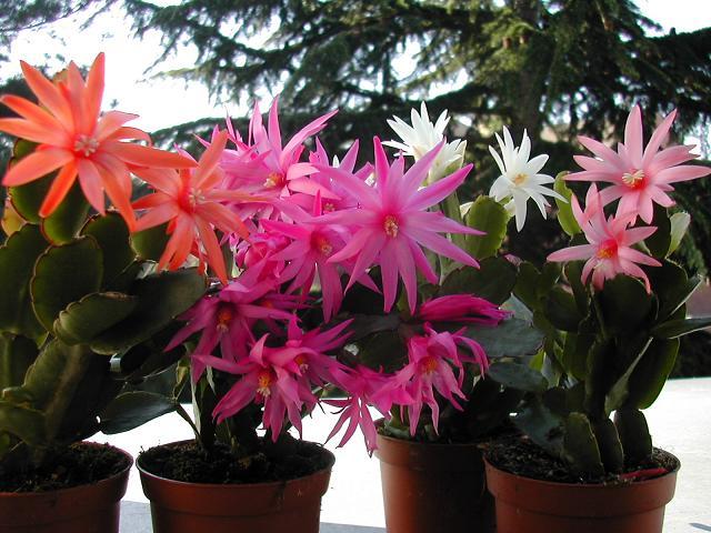 Цветущие рипсалидопсисы