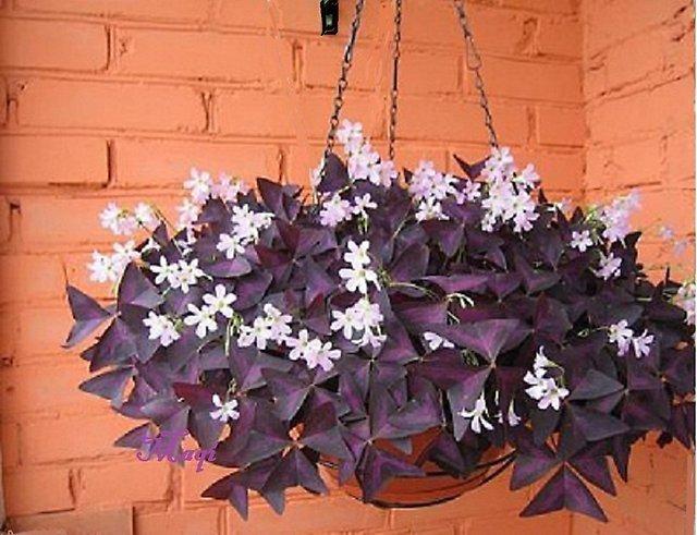 Цветущий оксалис