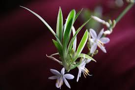Цветущий побег хлорофитума