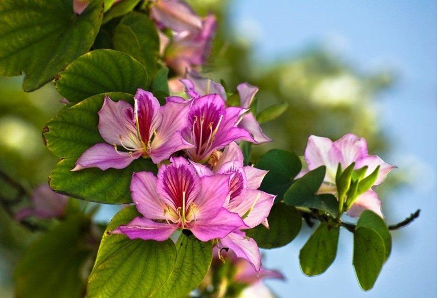 Цветы баухинии на ветке