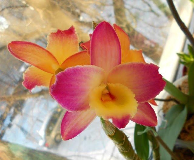 Цветы Дендробиум нобиле