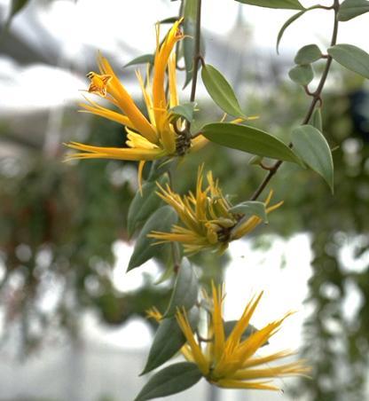 Цветы эсхинантуса на побеге