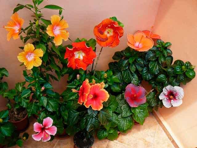 Цветы гибискуса