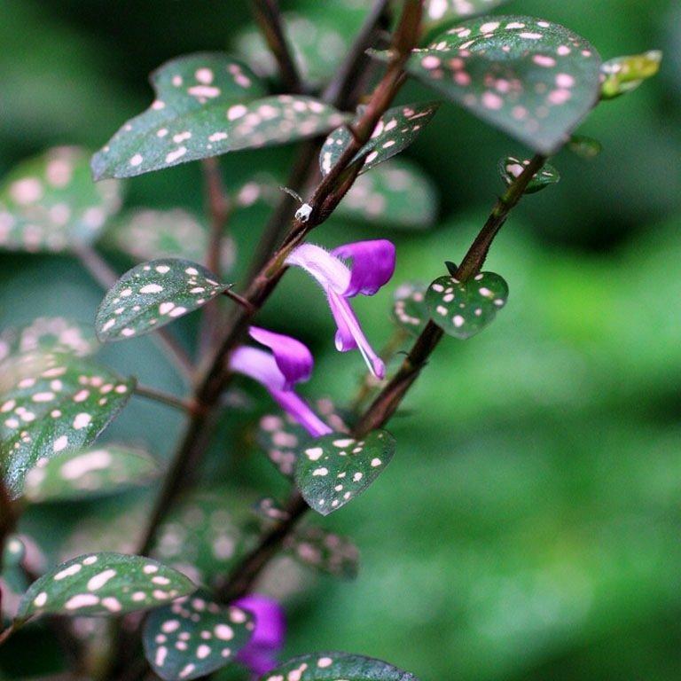 Цветы гипоэстеса