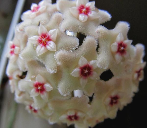 Цветы хойи