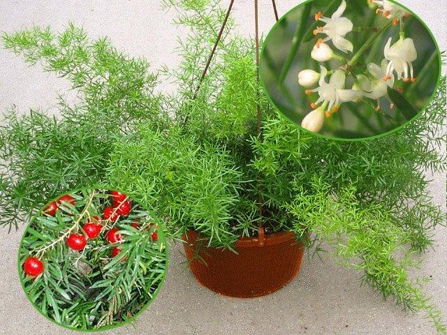 Цветы и ягоды аспарагуса