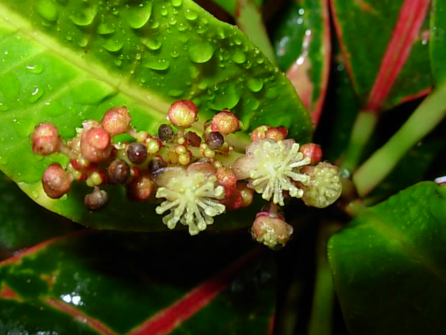 Цветы кротона