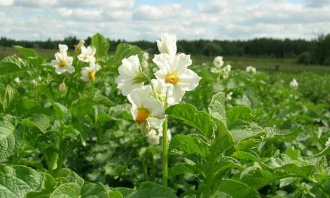 Цветки картофеля Метеор