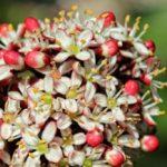 Цветы японской аукубы