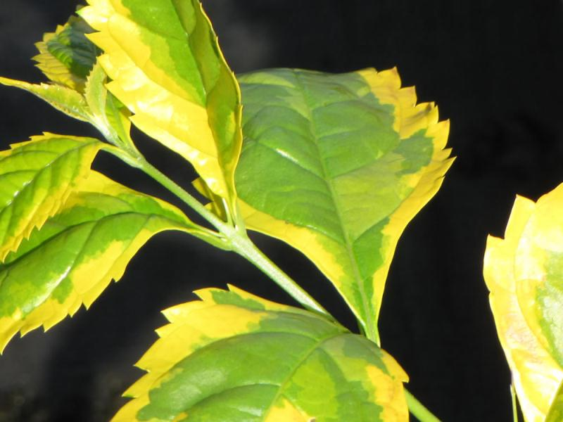 Листья дуранты