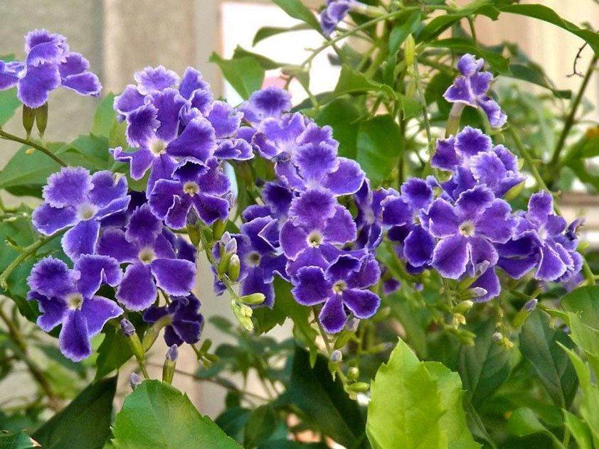 Дуранта цветёт