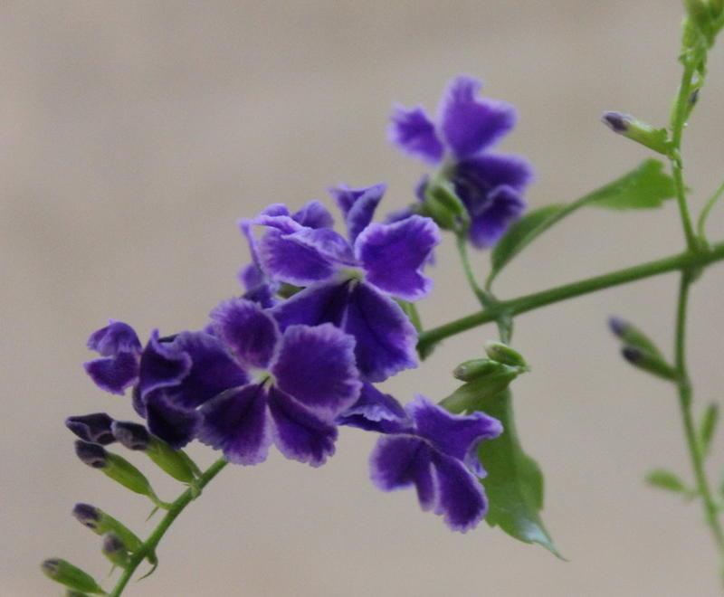 Цветы дуранты