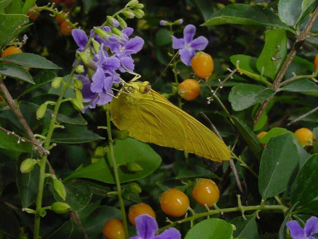 Цветы и плоды дуранты