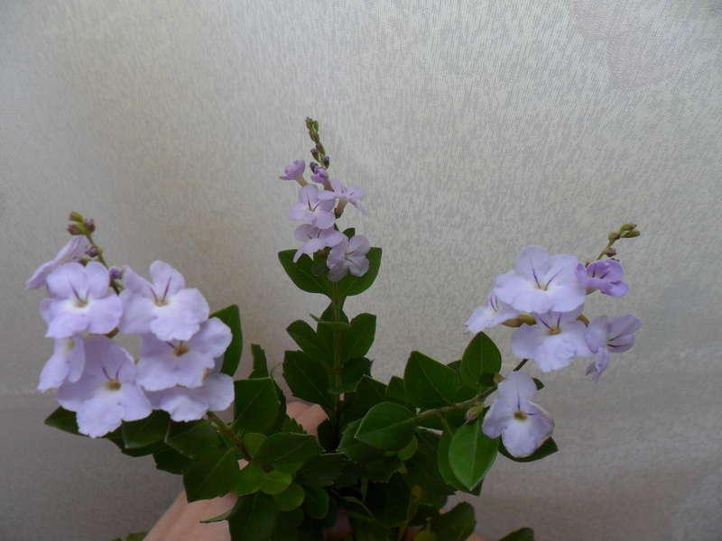 Дуранта лоренца с цветами