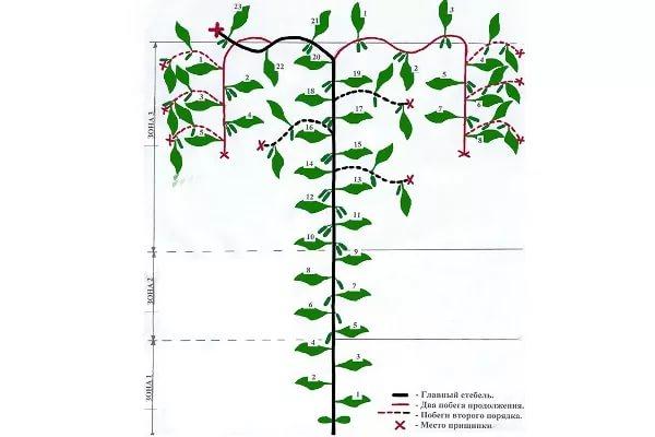 Схема формирования огуречного куста по типу Датский зонт