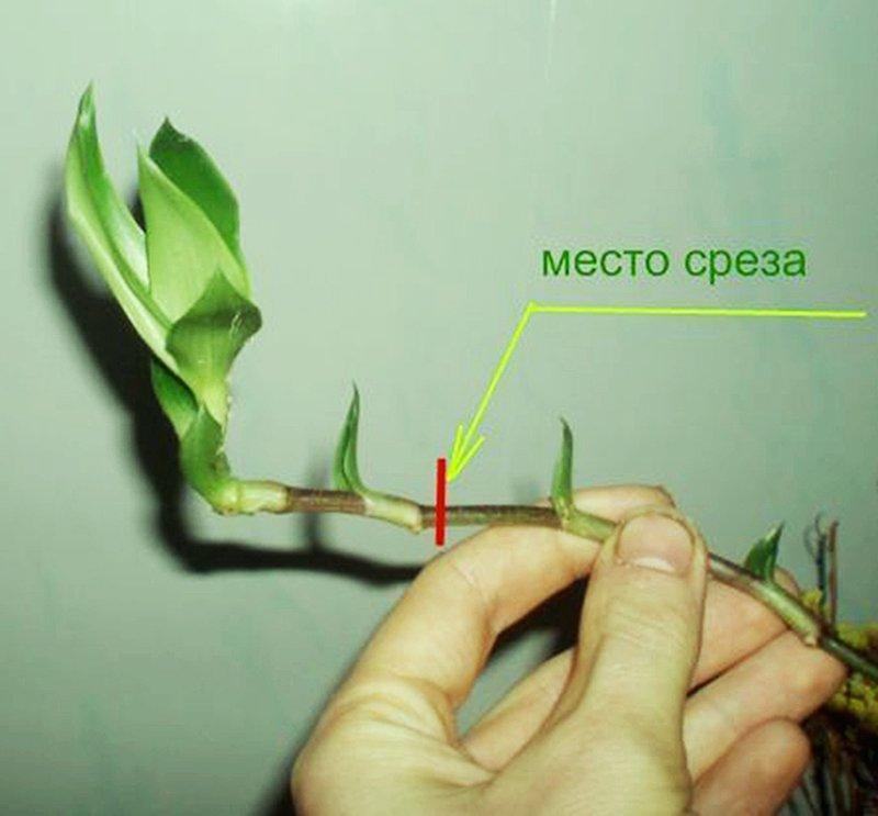 Деление стебля на черенки
