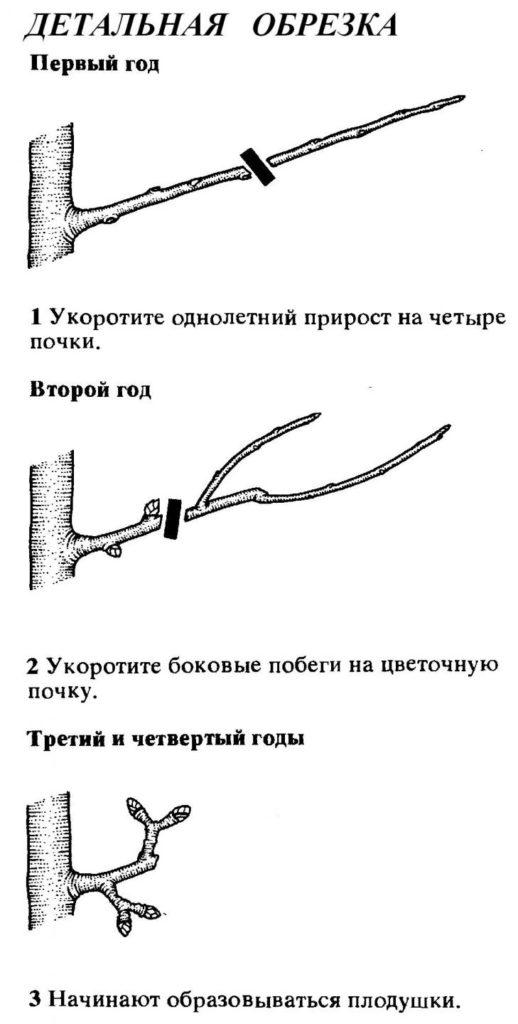 Детальная обрезка груши