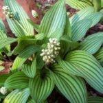 Дримиопсис с полосатыми листьями