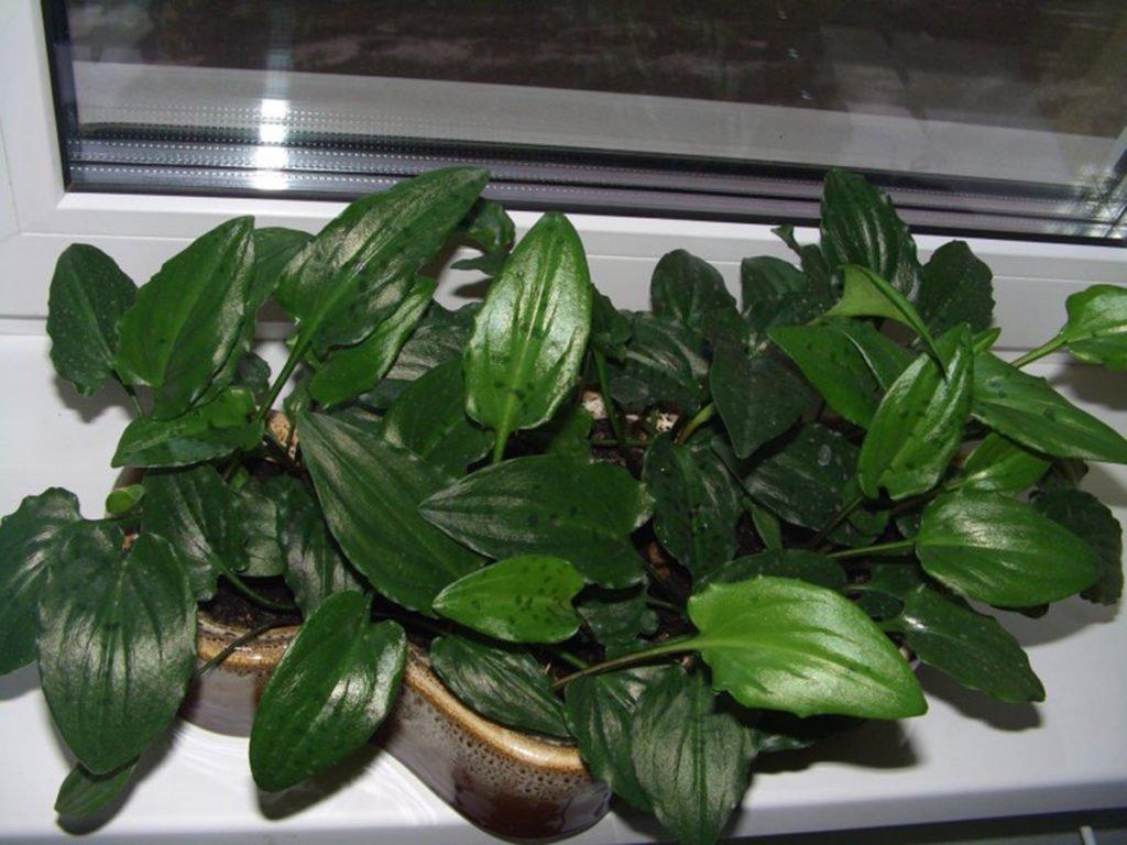 Луковичные комнатные растения список и фото