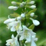 Белые цветки дримиопсиса