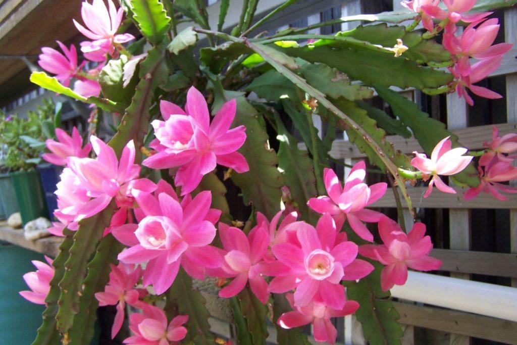 стебли и цветы эпифиллума