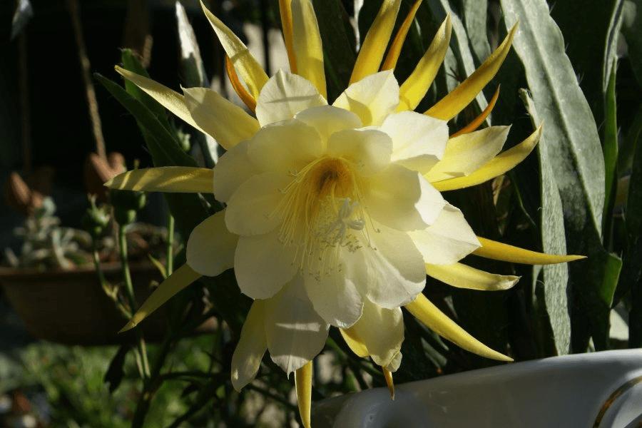 жёлтый цветок эпифиллума