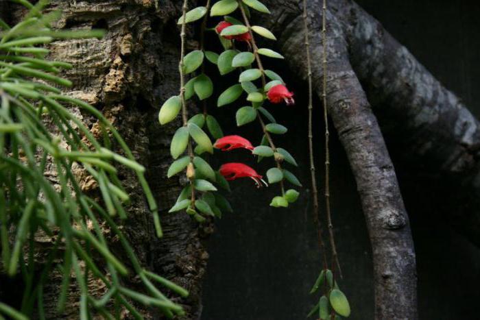 Эсхинантус на фоне дерева