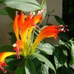 Эсхинантус прекрасный или великолепный