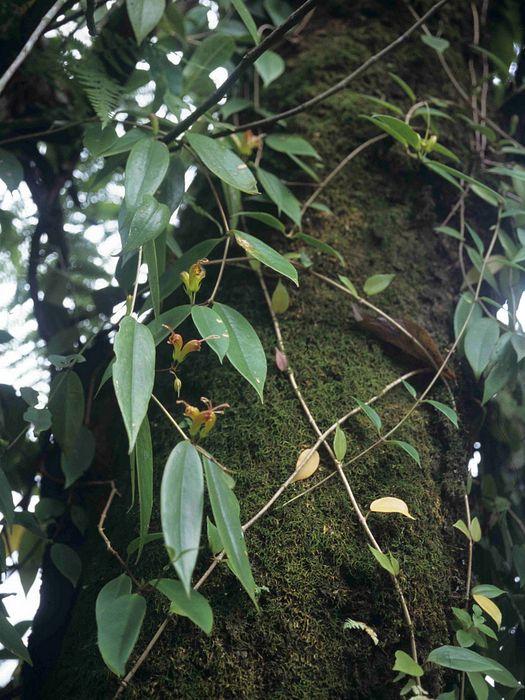 Эсхинантус в природе