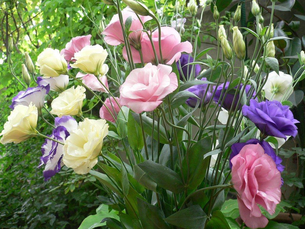 Аустома цветы где купить семена служба доставки цветов www
