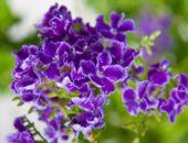 Фиолетовая дуранта