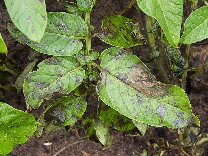 Бурые пятна фитофторы на листьях картофеля